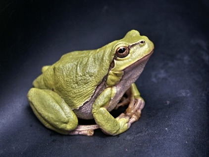frog-111179_1280